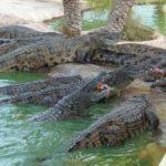 Джерба, Тунис. Экскурсия на крокодиловую ферму. Кормление крокодилов