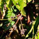 Вьетнам. Как растёт кофе в горах. Вьетнамский кофе