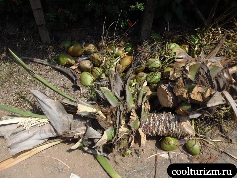 кокосы под ногами.Шри Ланка