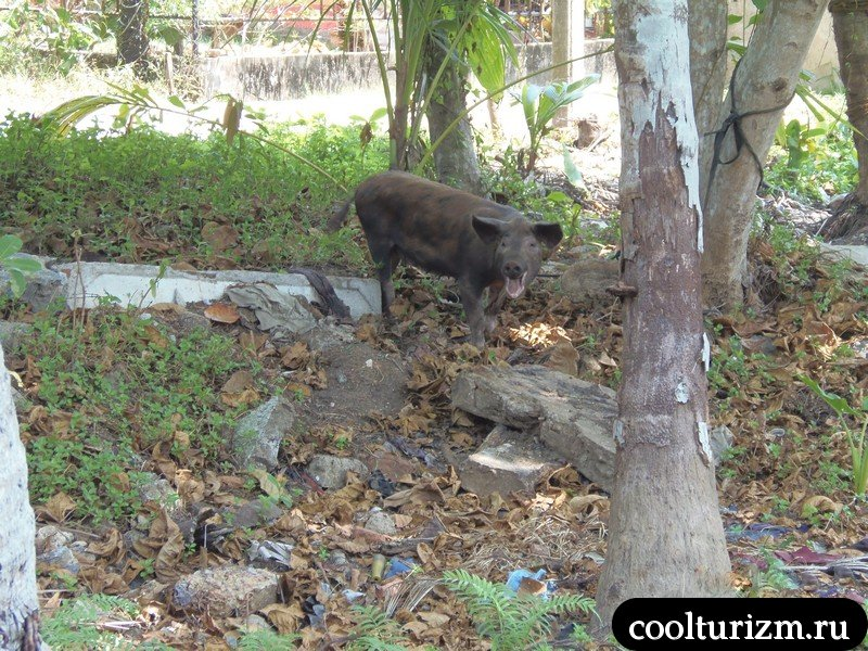 свинка на Шри Ланке