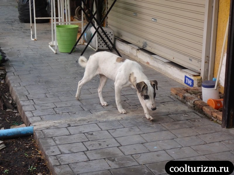 деловая собачка в Паттайе