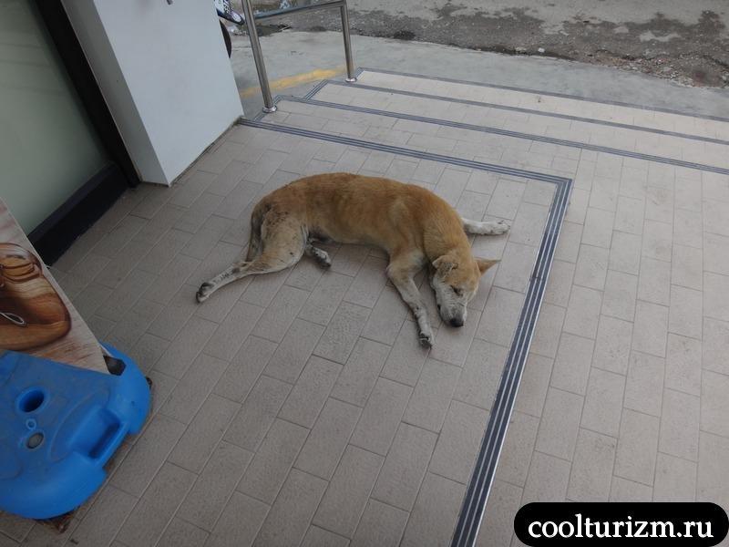 ленивая собака в Тайланде.
