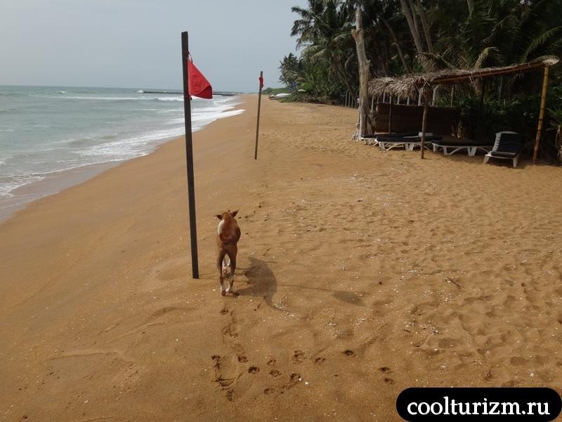 Шри Ланка.рой вилла.пляж.собаки.красные флаги