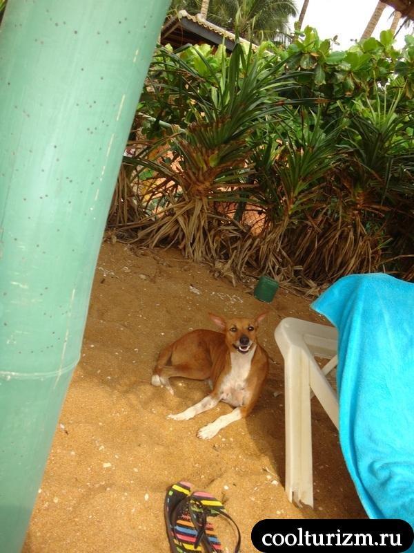 собачка сторожит тапки.Шри Ланка