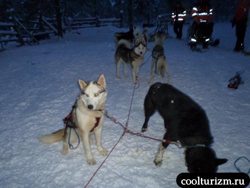 собачьи гонки в саарисельке