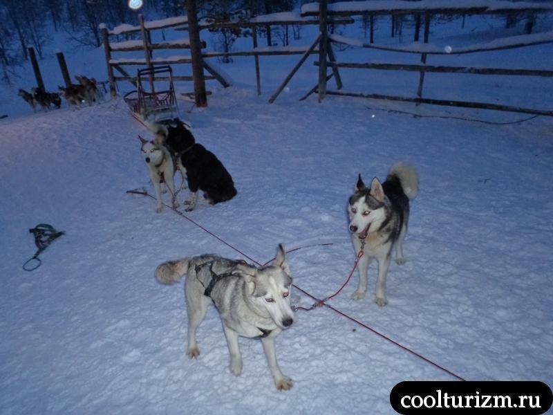 собаки в саарисельке