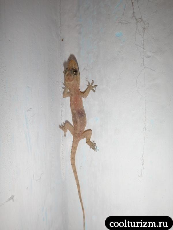 геккон.Шри Ланка.Катукурунда
