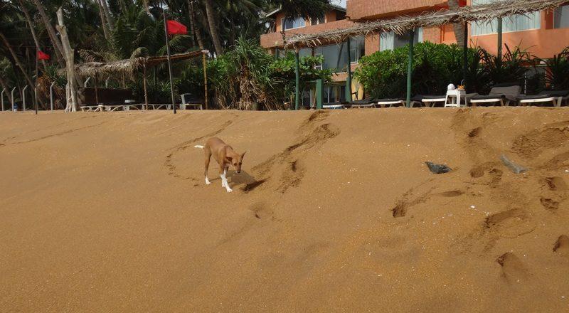 пляж.рой Вилла.Шри ланка.собаки