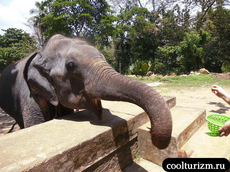 покорми слона.Шри Ланка