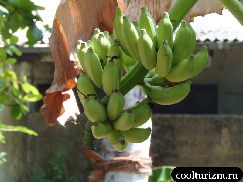 бананы на Шри Ланке во дворе