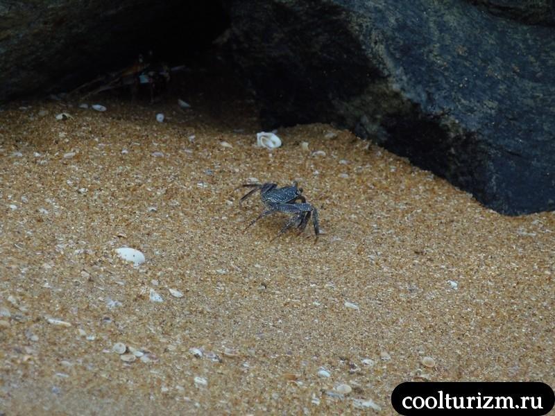 краб.пляж.Шри Ланка