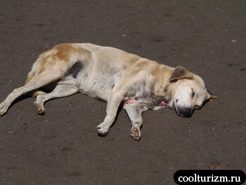 ленивая собака на шри Ланке снова