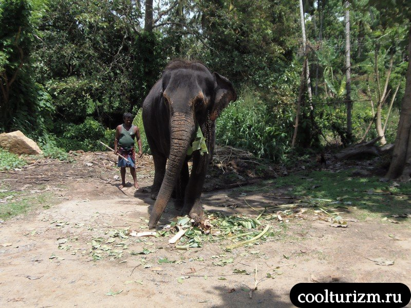 слоны на Шри Ланке