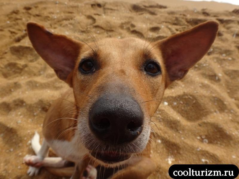 собака.рой Вилла.пляж.песок