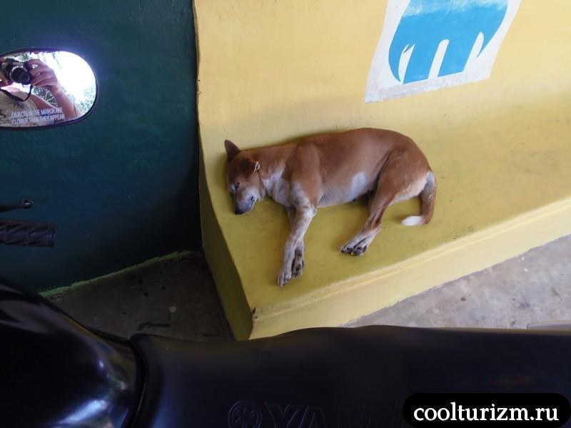 ленивая собака на Шри Ланке