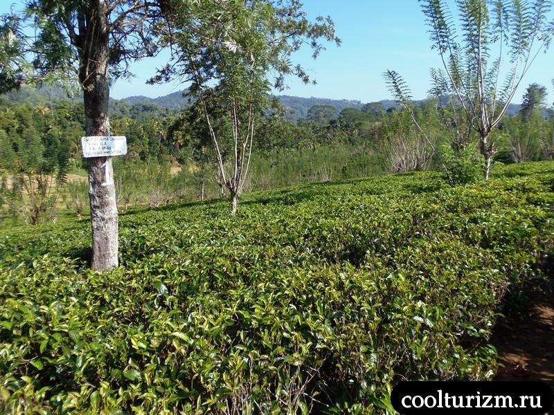 плантация зедленого чая.Шри Ланка.Цейлон