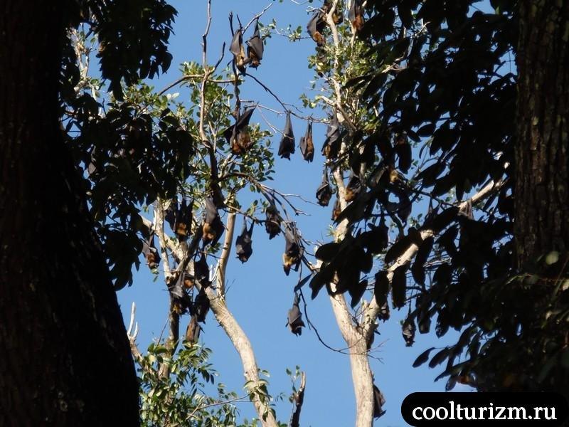 урожай летучих собак в Шри Ланке