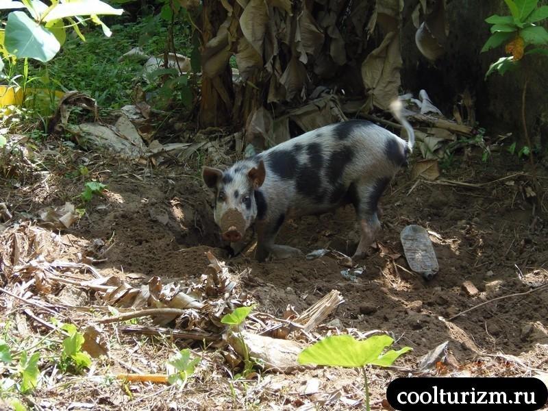 Шри Ланка.свинья
