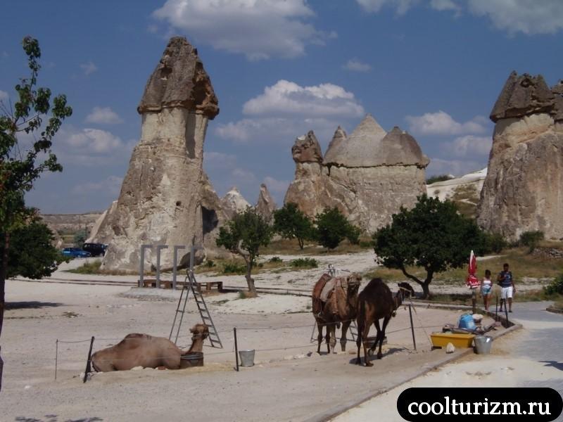 верблюды в пашабаге