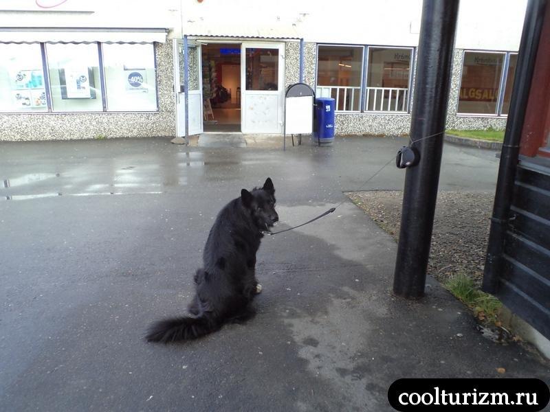 норвежская собачка