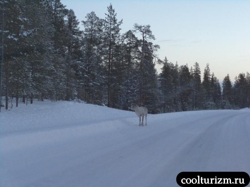 олень зимойна дороге в саарисельку.стоит