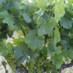 Вино, кино и домино. Винный заводик Торрес. Пенедес. Испания