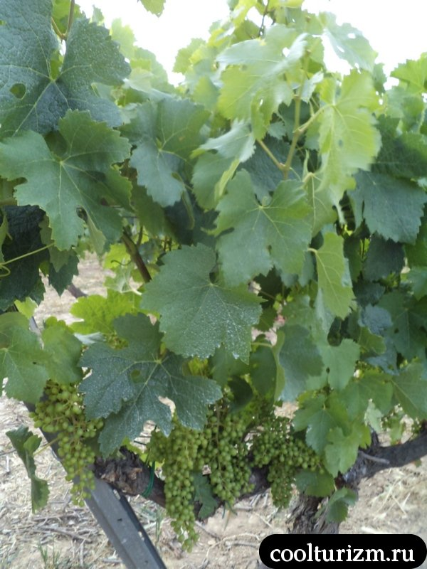 как растёт виноград дляторреса