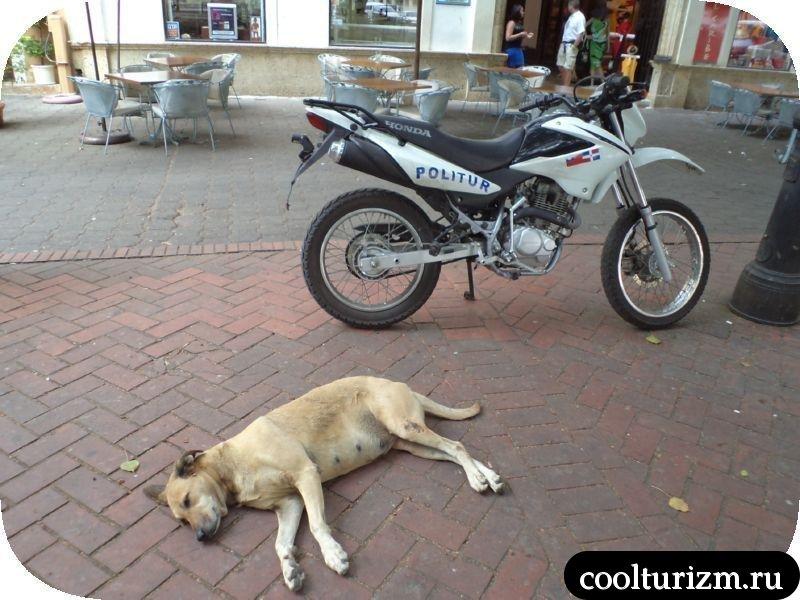 ленивая доминиканская собака