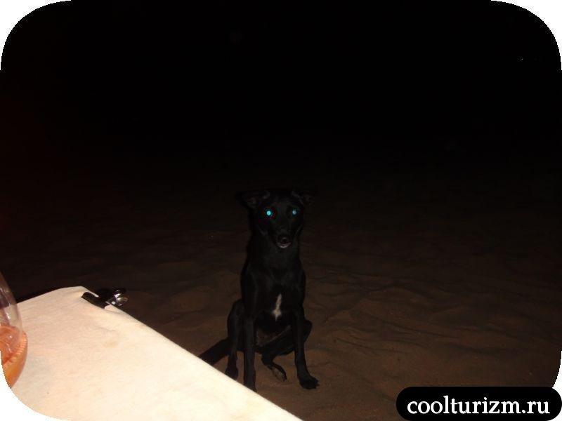собака на пляже в Гоа.Индия