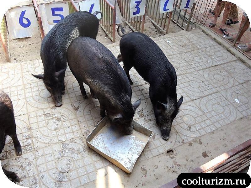 алчно жрем комбикорм свиньи
