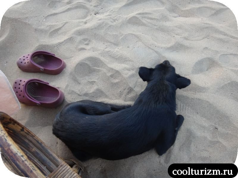 собака на пляже в Агонде.Гоа