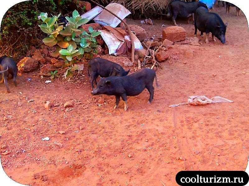 свинки в Гоа