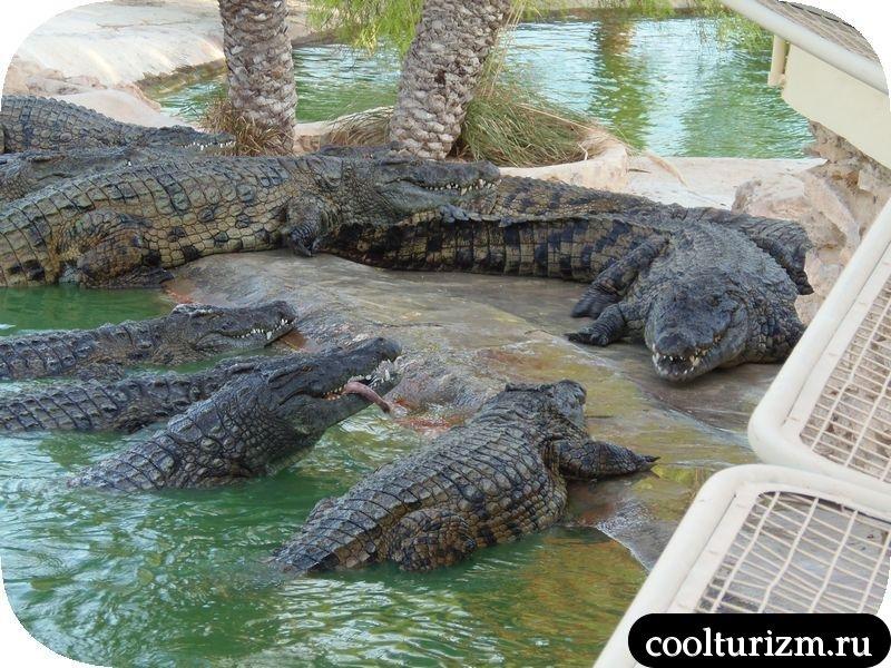 Джерба, Тунис как кормят крокодилов