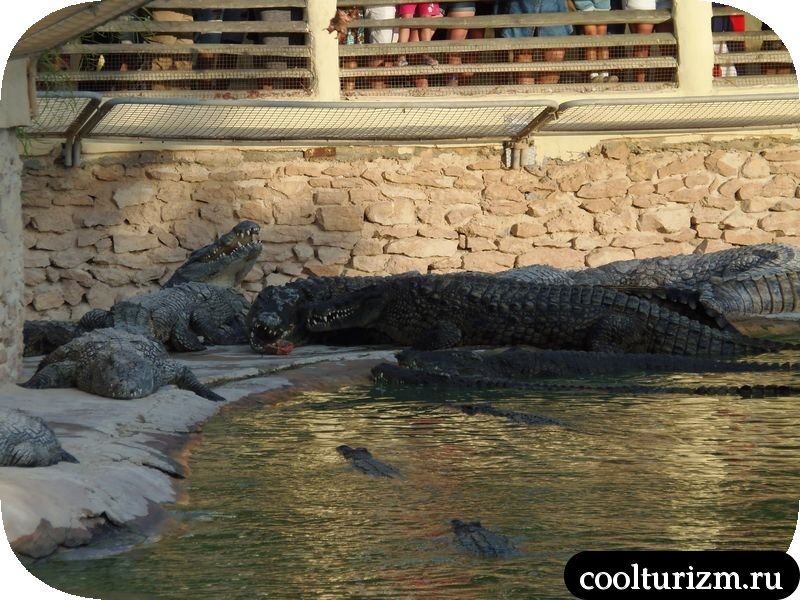 Джерба, Тунис кормление крокодилов