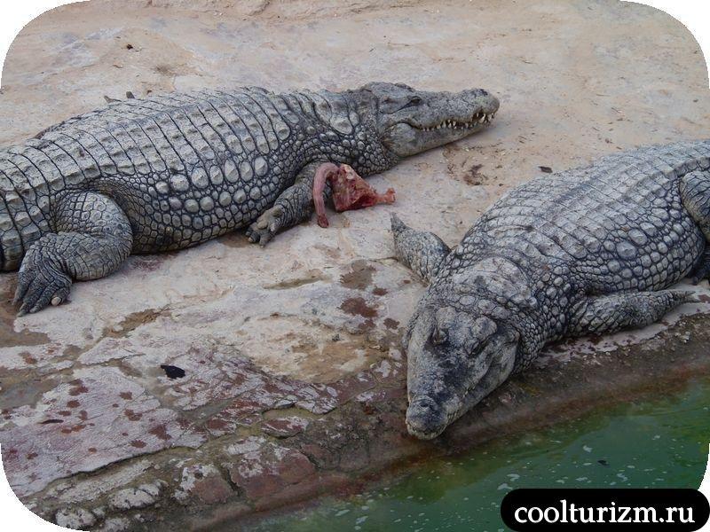 Джерба, Тунис крокодилы на ферме