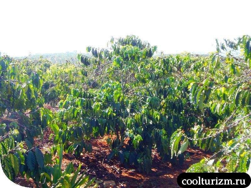 Вьетнам. Как растёт кофе в горах