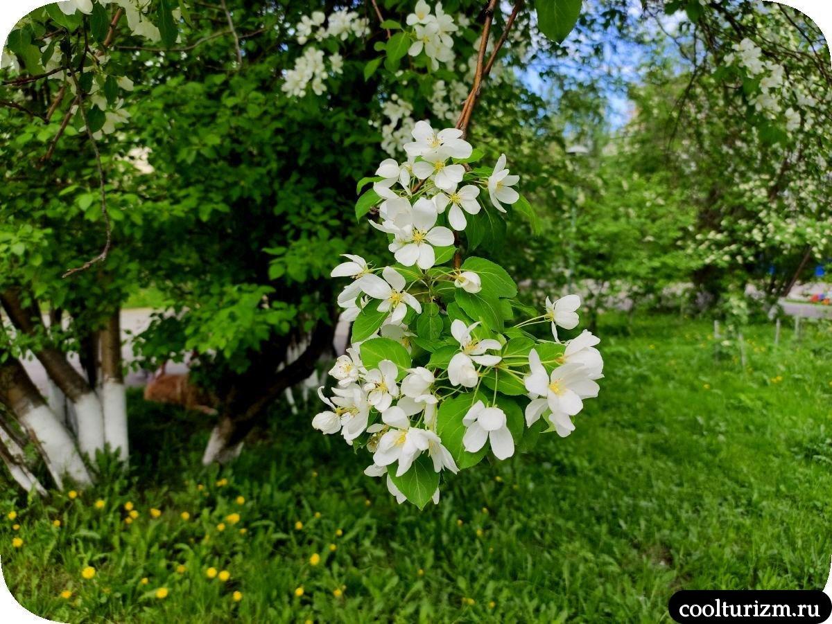 цветет яблоня в мурманске