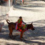 Собачьи бега на острове Обезьян в Нячанге