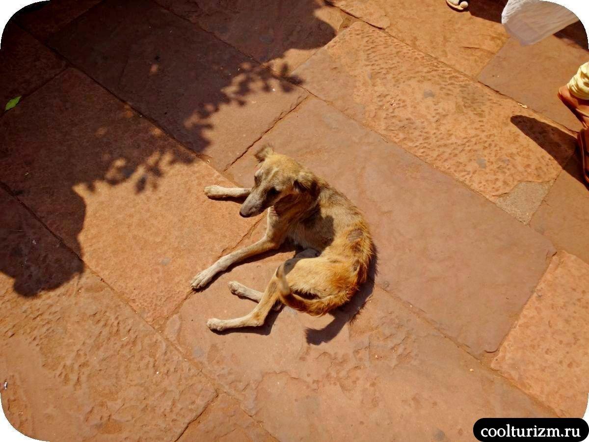 собаки Бадами