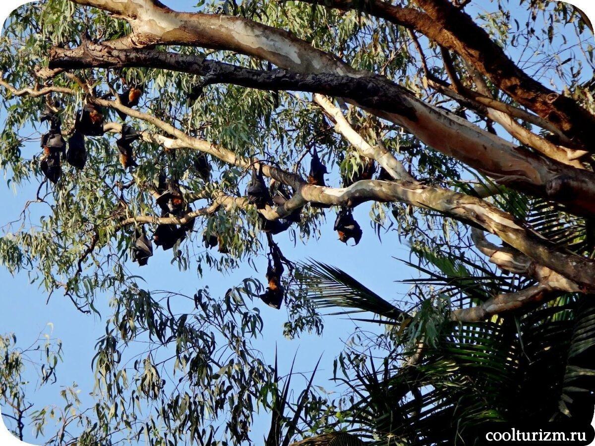 Агонда пляж Южный Гоа летучие лисицы