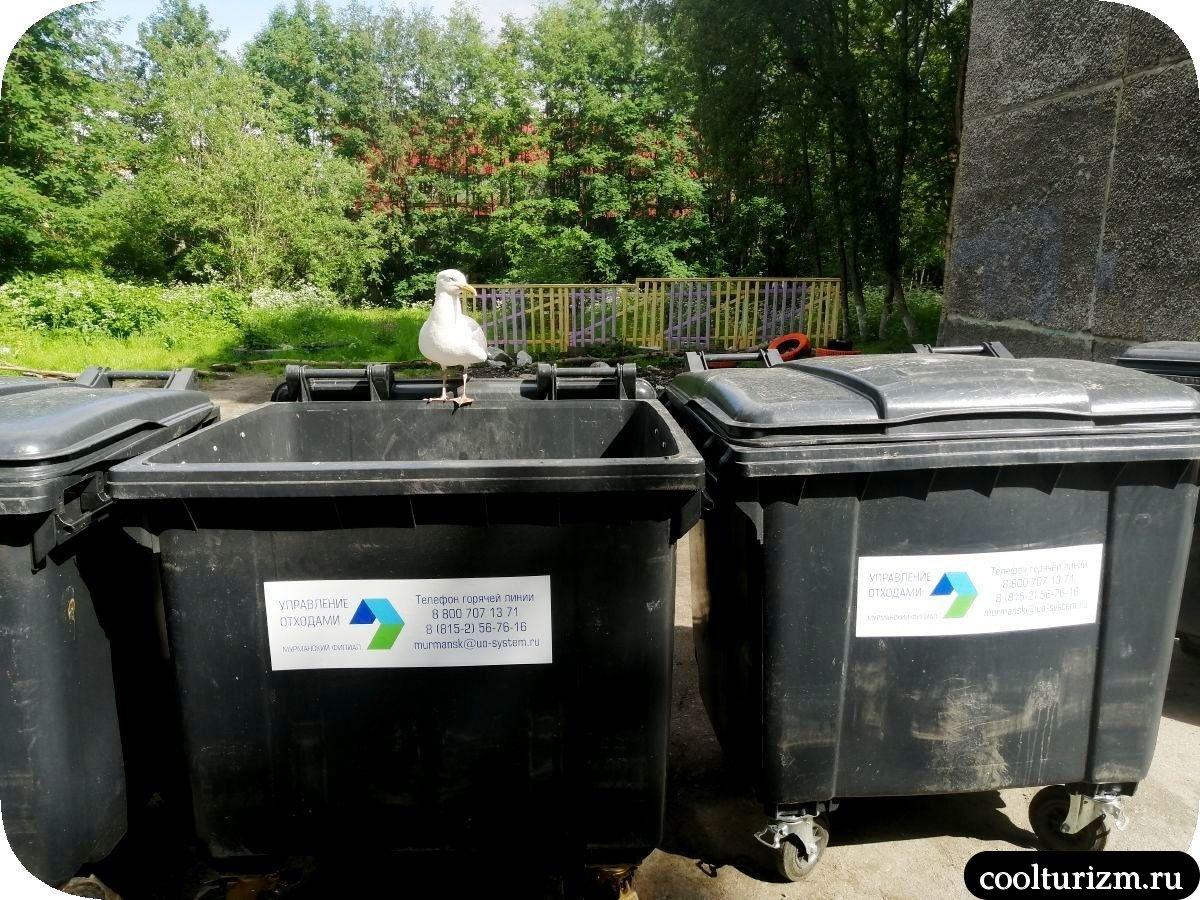 Чайки в Мурманске летом