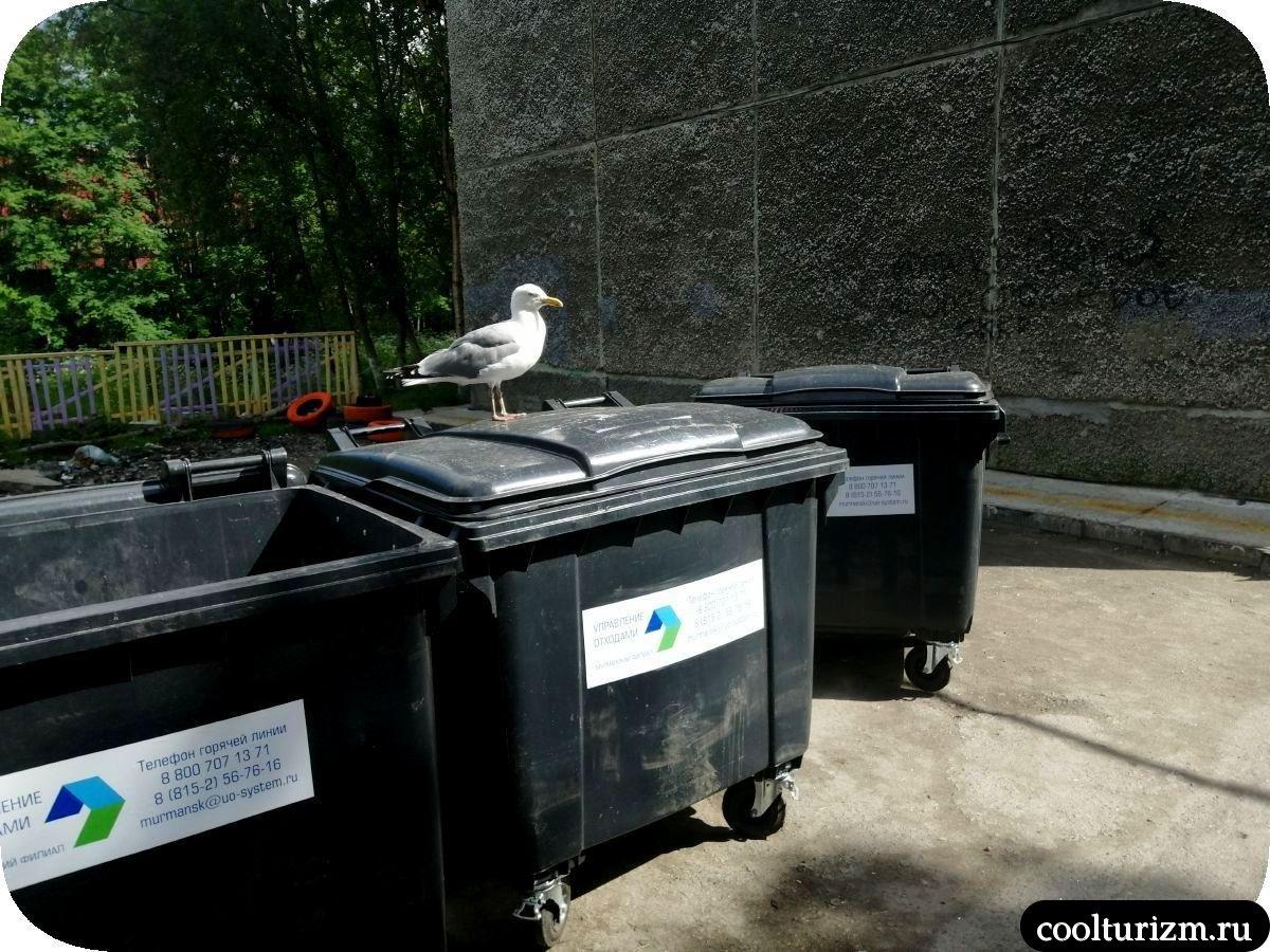 Чайки в Мурманске мусорка