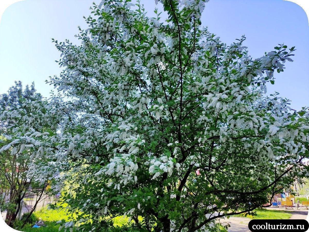 цветет черемуха в Мурманске